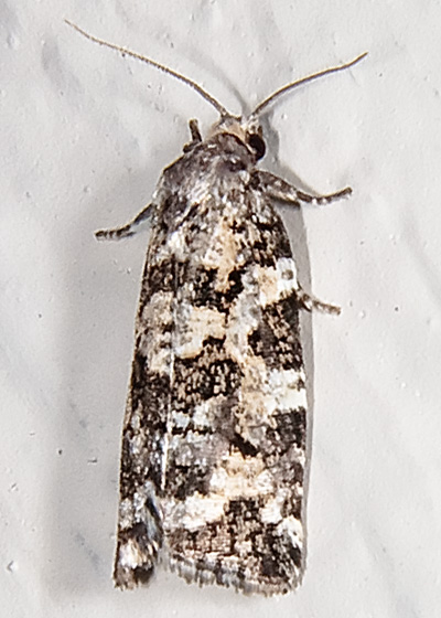 Spring Spruce Needle Moth - Archips packardiana