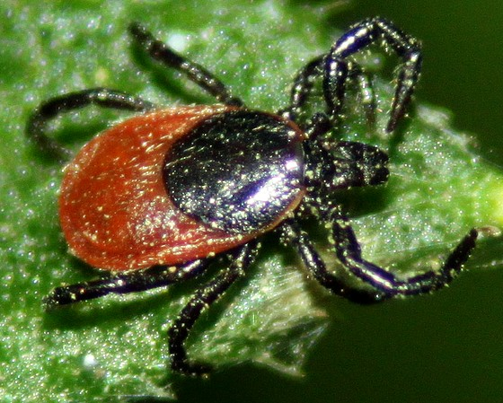 Unknown Tick - Ixodes pacificus