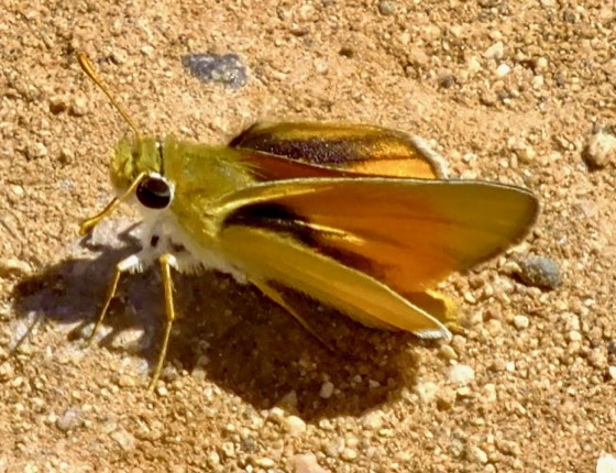 Very tiny Skipper - Copaeodes aurantiaca