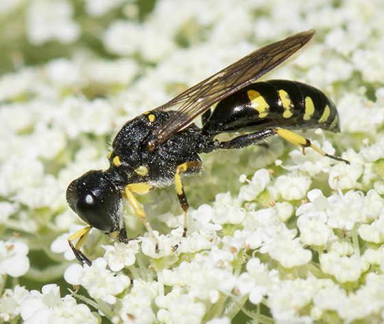 Square-headed Wasp - Ectemnius maculosus - male
