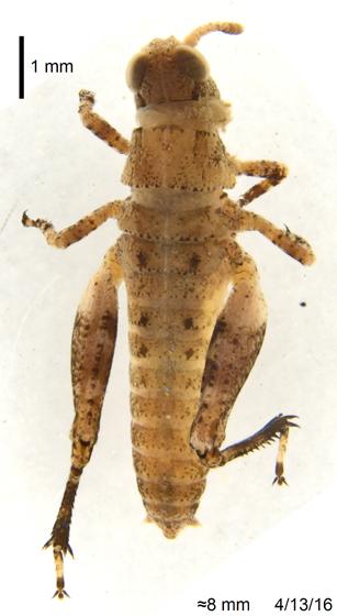 Acrididae 3 - Conozoa nicola