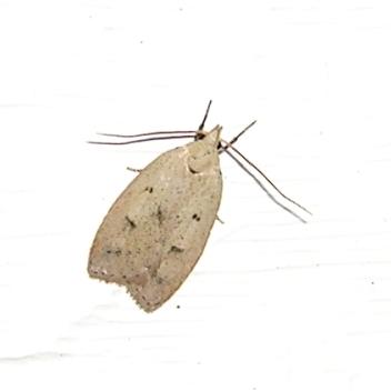 very small moth - Machimia tentoriferella