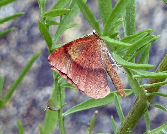Bordered Fawn Moth - Sericosema juturnaria - male