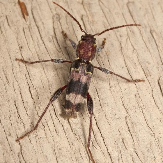Rustic Borer Beetle - Xylotrechus colonus
