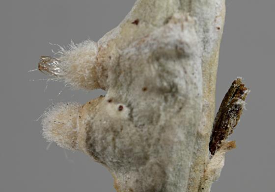 Rabbitbrush Gall - Rhopalomyia chrysothamni