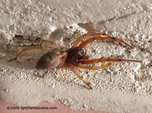 Sack Spider - Trachelas