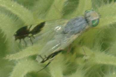 White and pale gray fly with black at wing tips - Trupanea bisetosa - female