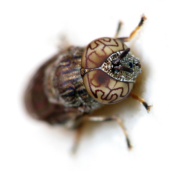 Orthonevra nitida - male