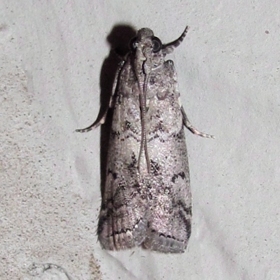 Salebriaria ademptandella (Dyar, 1908) - Salebriaria ademptandella