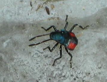 Florida Predetory Sink Bug Nymph, small metallic black bug with orange or red mark - Euthyrhynchus floridanus