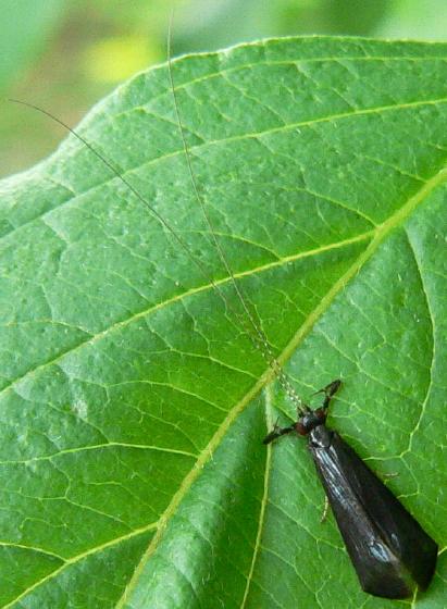 Black Dancer - Mystacides sepulchralis