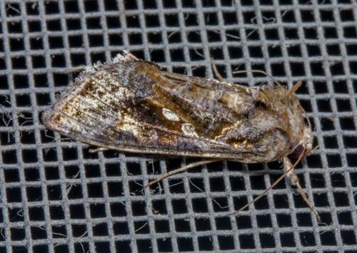 unknown owlet moth - Autographa precationis