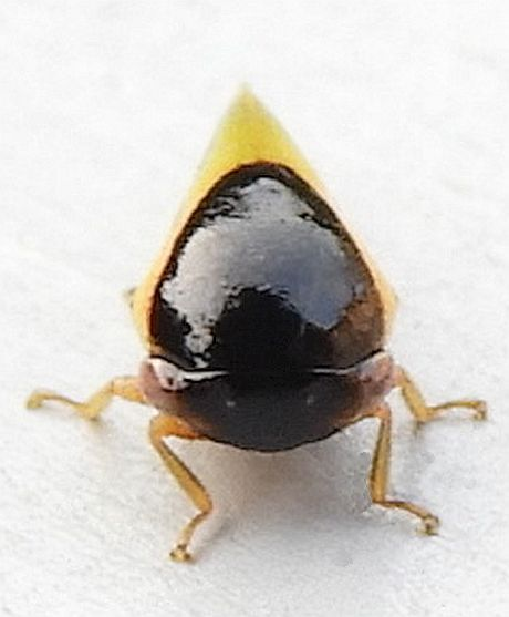 Pennsylvania Treehopper - Acutalis tartarea