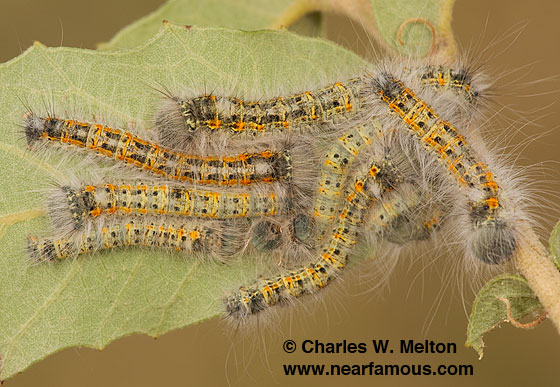 Dicogaster coronada larvae Day 60 - Dicogaster coronada