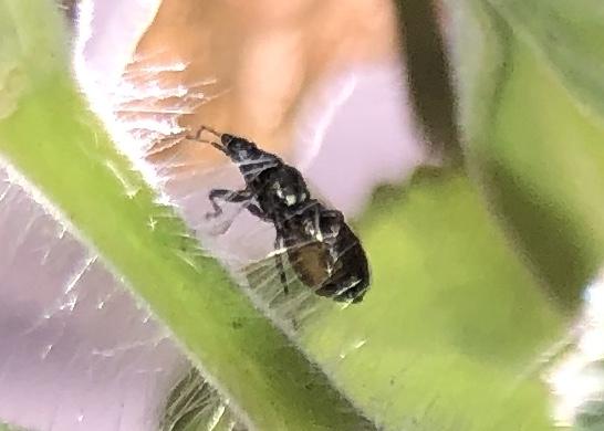 Oxycarenus? - Oxycarenus hyalinipennis