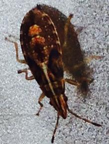 What is this? - Belonochilus numenius
