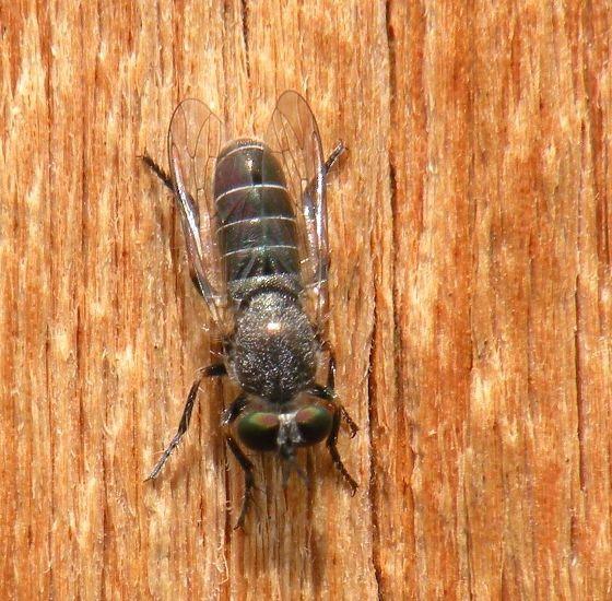 Unknown fly - Atomosia melanopogon