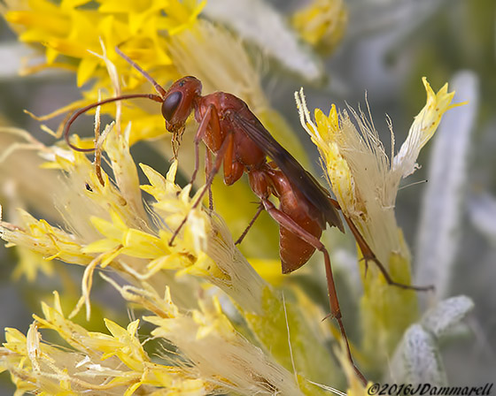Wasp on Rabbitbrush - Ageniella accepta