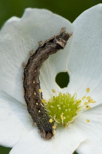 Caterpillar on Anemone Canadensis - Peridroma saucia