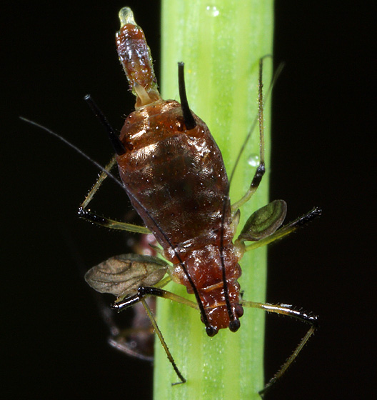 Aphid Giving Birth - Uroleucon - female