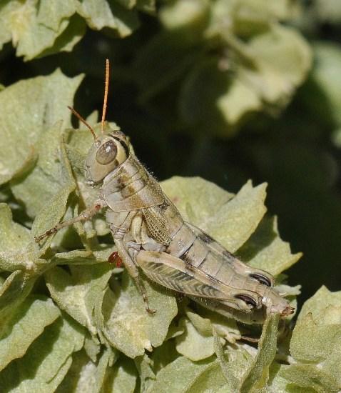 Aeoloplides chenopodii - female