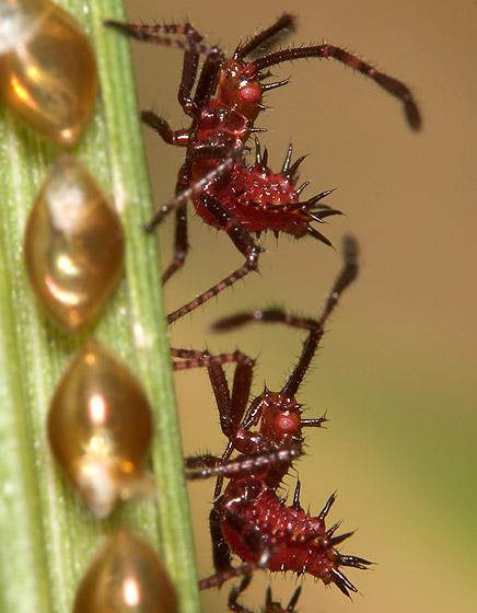 Bug - Euthochtha galeator