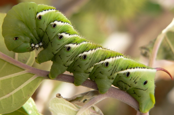 Tobacco Hornworm Caterpillar - Manduca sexta