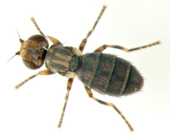 Chloropidae, brachypterous - Lasiosina