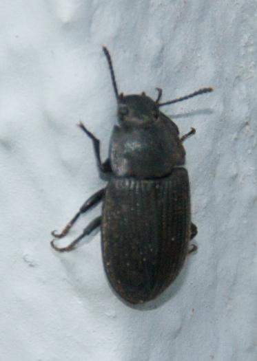Black Ground Beetle? - Blapstinus