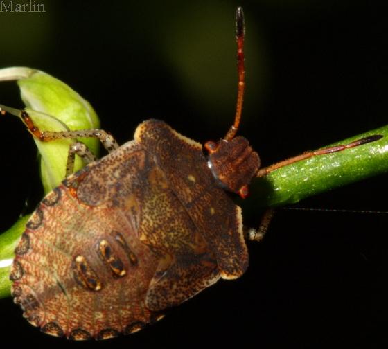 Stink Bug Nymph - Euschistus tristigmus