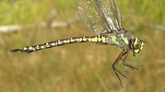 Lake Darner (heteromorph) - Aeshna eremita - female