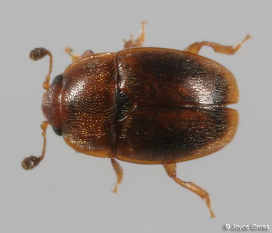 beetle - Epuraea - male