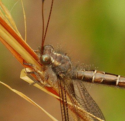 Owlfly eye detail - Ascaloptynx appendiculata