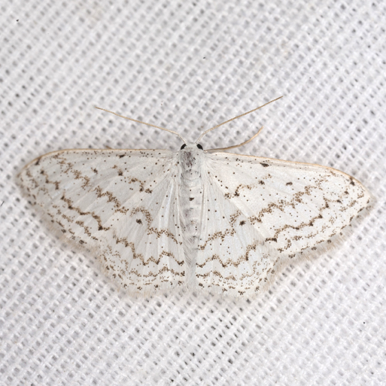 Rippled Wave Moth - Hodges #7123 - Idaea tacturata
