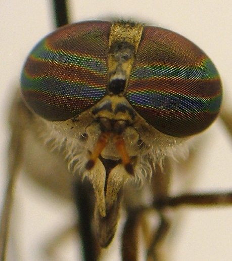Horse Fly - Tabanus pumilus - female