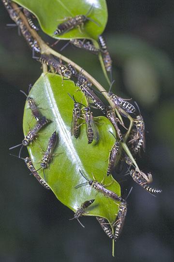 Wasps - Myzinum - male