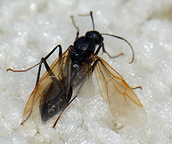 Black winged ant - Camponotus