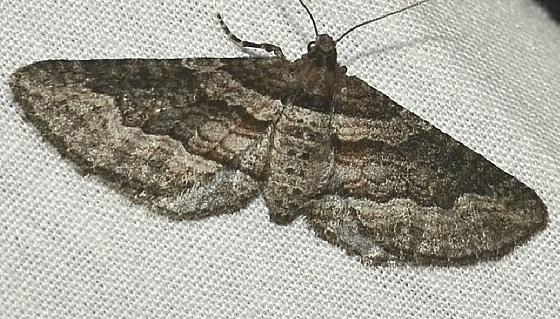 Lithostege deserticola? - Lithostege deserticola - female