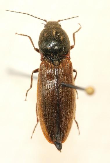 Hemicrepidius hemipodus - Hemicrepidius decoloratus - female