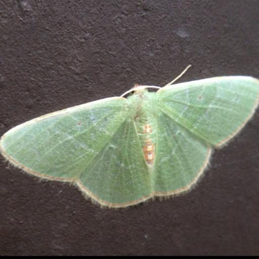 Pale Green Moth With Orange And Mauve Border Nemoria