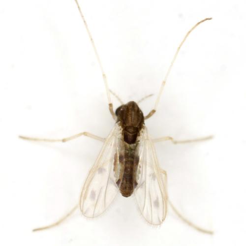 Midge - Apedilum elachistus - female