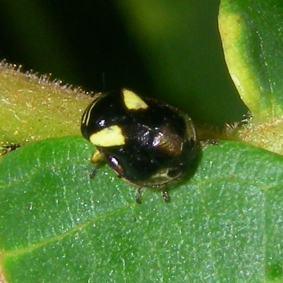 Tiny hopper - Clastoptera proteus
