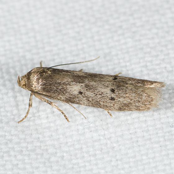 Micro moth sp ?? - Holcocera