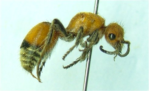 Mutillid 3 - Dasymutilla vesta - female