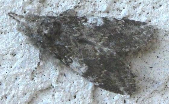 Angulose Prominent - Peridea angulosa