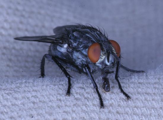 Flesh Fly? - Sarcophaga