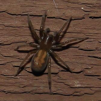 Unidentified Spider - Callobius bennetti