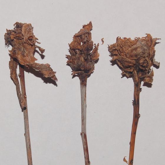 Goldenrod fly galls - Asphondylia