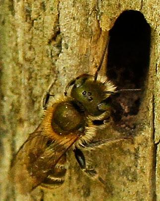 Bee - Osmia caerulescens - female