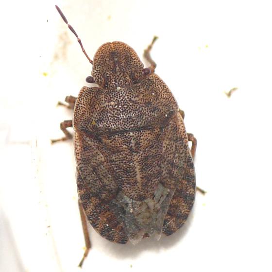 Stink bug from Banff (2) 10.07.09 - Sciocoris microphthalmus